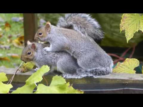 Grey squirrels mating in London