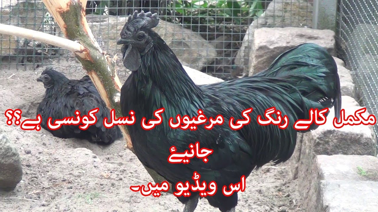 Ayam Cemani Breed Introduction in Urdu