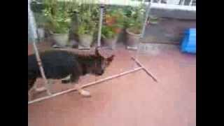 Cute German Shepherd Puppy Yard Obstacle Course Adorable