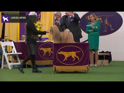 Lhasa Apsos | Breed Judging 2020