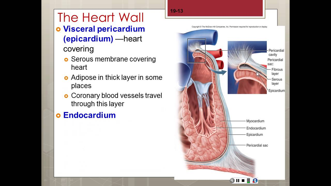 Chapter 19 The Circulatory System Heart part 1 of 3 (2) - YouTube