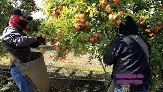 asi segana el dinero😞🤑💵💵 en la mandarina  arboles pequeños