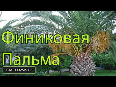 Как вырастить пальму из семян. Размножение пальмы деление