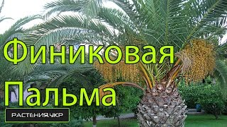 Пальма Финиковая уход в домашних условиях / Phoenicia Date palm care at home(Финиковая пальма, также Феникс, Финик(лат. Phoenix) — род растений семейства Пальмовые (Arecaceae). Род включает..., 2014-10-13T06:00:01.000Z)