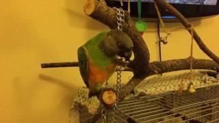 Сенегальский попугай/5/Кузя грызет пластиковое колечко