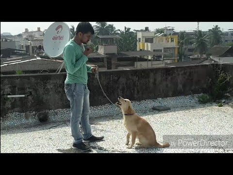 Golden retriever breed dog Training done by Ashish dog trainer...7715081542