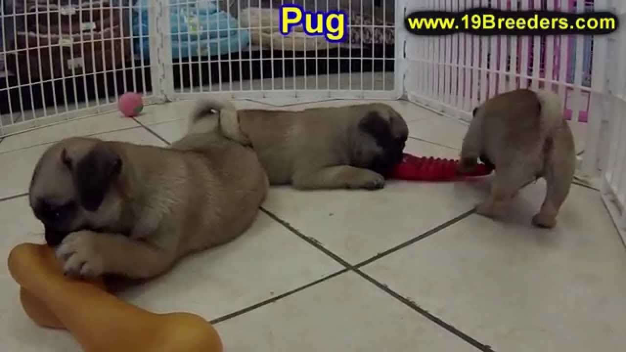 Pug Puppies Dogs For Sale In Huntington County West Virginia
