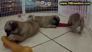 Pug, Puppies, For, Sale, In, Weirton, West Virginia, Wv, Kanawha, Monongalia, Cabell, Wood, Raleigh,