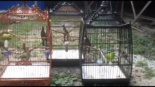 Merbah Jambul /Candik /Red Whiskered Bulbul Kampung Koleksi Syah for sale