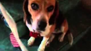 Los beagle son una raza de perros de tamaño pequeño a mediano. Tien...