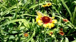 Гайлардия - простые летние цветы для клумб , Fly IQ 446 video test(Гайлардия., 2013-06-06T13:57:09.000Z)