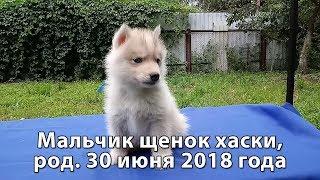 Предлагаем щенка хаски мальчика серо-белого, родился 30 июня 2018 года thumbnail