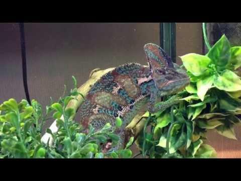 How to Set-up & Care for Veiled Chameleons