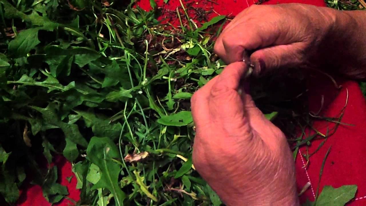 Come pulire la cicoria - Scuola di cucina Il Cuore in Pentola