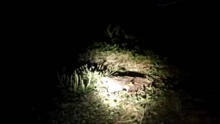 Кормим диких енотов (30.07.2016) | Feeding wild raccoons