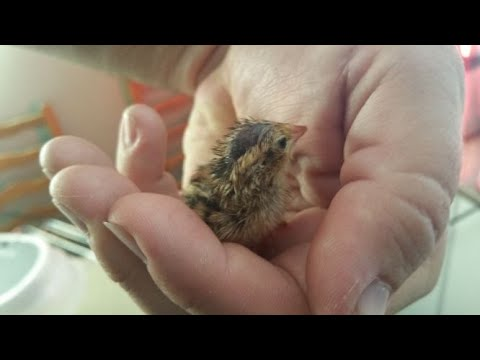 Hatching Quail Eggs in the JANOEL12 Incubator