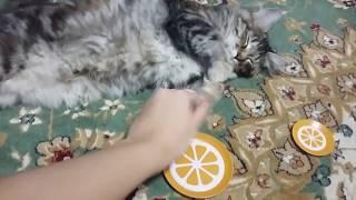 Котенок породы Курильский бобтейл Нора отдыхает/ Kitten Kurilian bobtail Nora- good feeling