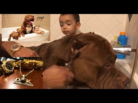40,000 ROLEX bath FOR Giant Family Pit Bull THE HULK