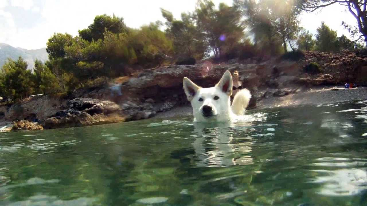Bon Swimming Swiss White Shepherd Siberian Husky Mix