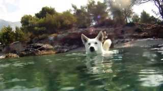 Bon - Swimming Swiss White Shepherd/siberian Husky Mix