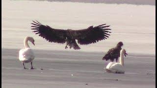 Орлы прилетели. Две пары орлов могильников    Eagles. Golden eagle