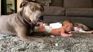 Are they really the most dangerous dogs? pitbull, nannydog, staffy#2