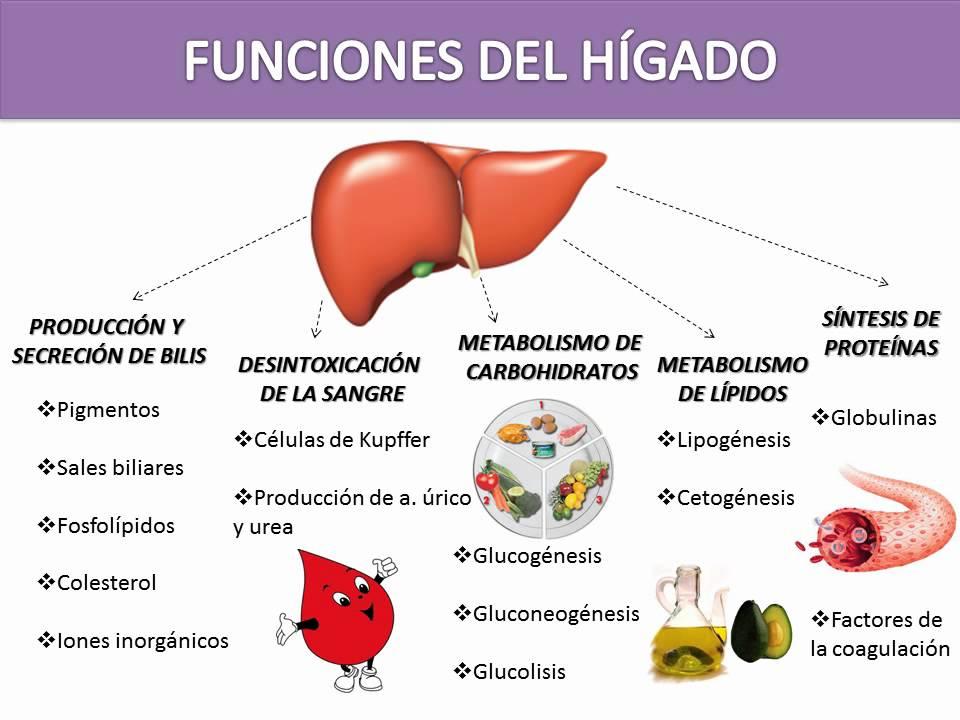 Atractivo Funciones De Un Hígado Ideas - Anatomía de Las Imágenesdel ...