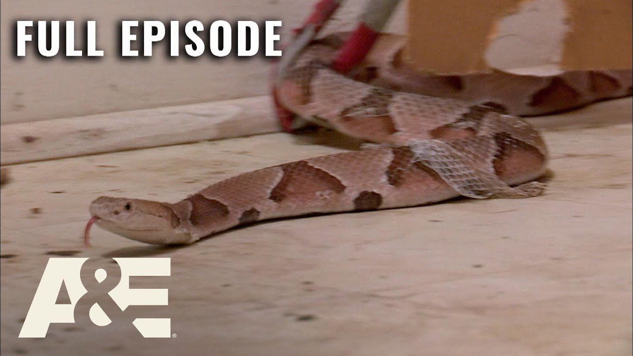 Billy the Exterminator: House Full of Pit Vipers! - Full Episode (S6, E1) | A&E