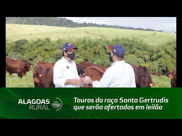 Fazenda Mangabeira apresenta os touros da raça Santa Gertrudis que serão ofertados em leilão
