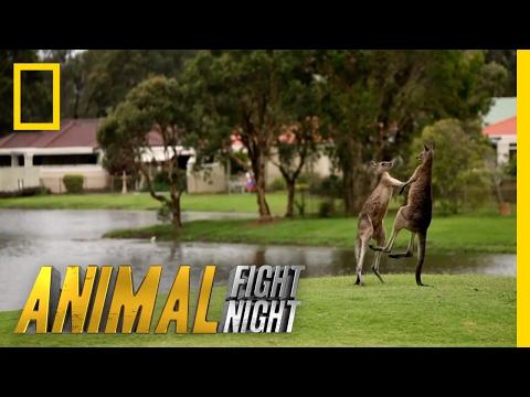 It's a Kangaroo Fight!   Animal Fight Night