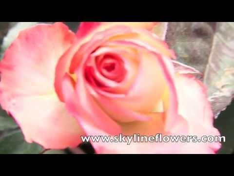 Garden Roses on a California Farm