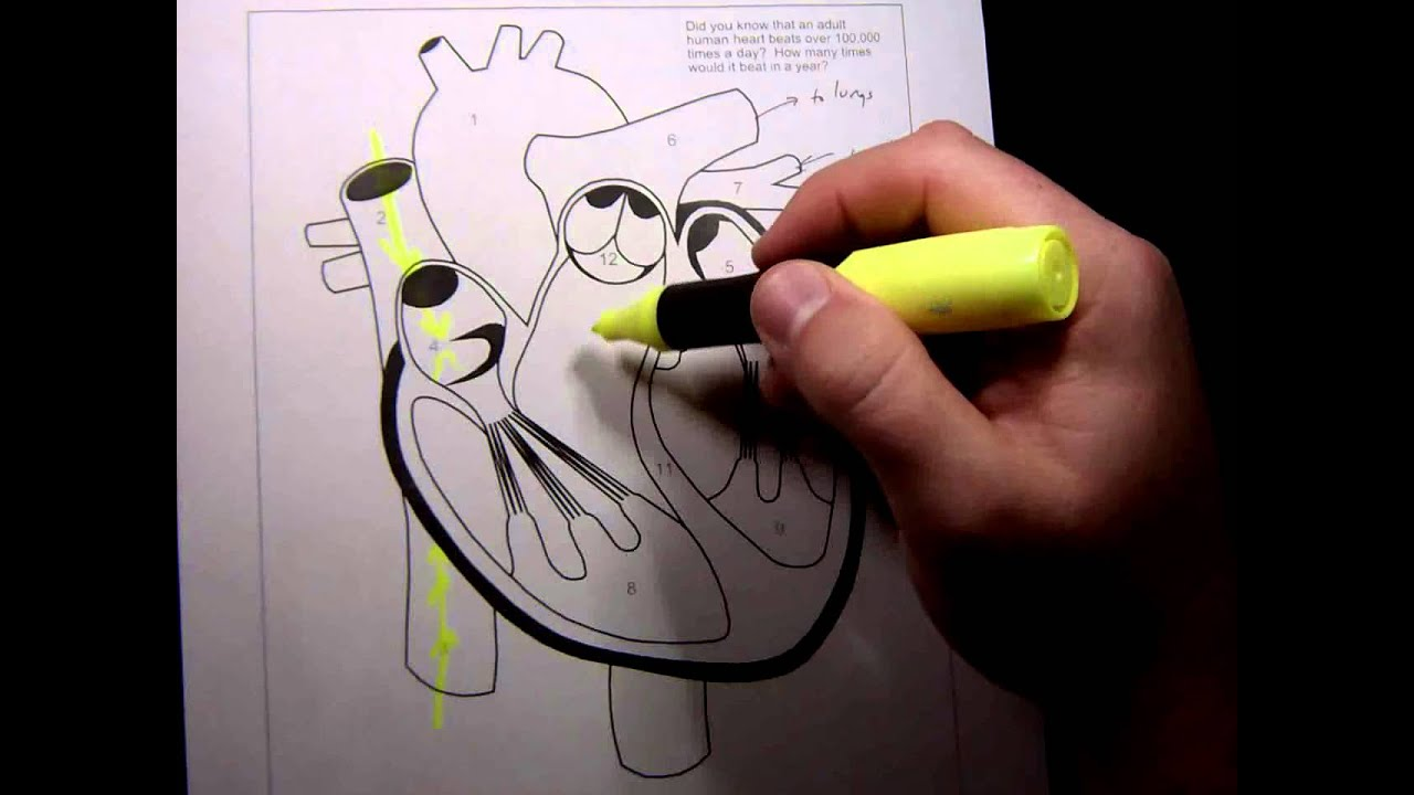 Heart Anatomy and Physiology - YouTube