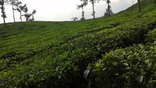 Wayanad Rippon tea estate