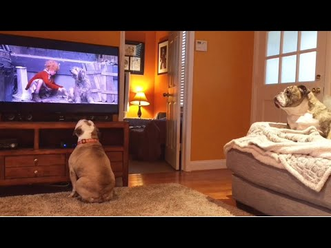 Two Bulldogs Have Amazing Reaction To Distressed Canine On TV