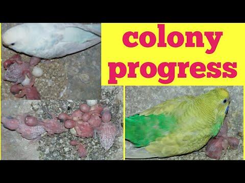 Australian parrots colony progress | Hindi/Urdu