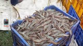 Shrimp caught with thrownet | Sungat Prawns aquaculture | Indian prawn Cultivation 1.5 ton Yield