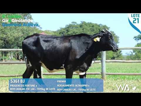 LOTE 21 - 5361 BJ - 6º Leilão Gir & Girolando Genética Aditiva