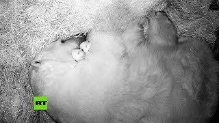 El tierno nacimiento de dos oseznos polares en un zoológico ruso