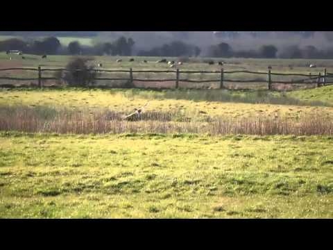 Short Eared Owl Flying And Hunting In Sussex Feb 15.mov