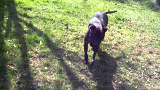 Kia The Brindle Girl Staffy Jumping Staffordshire Bull Terrier