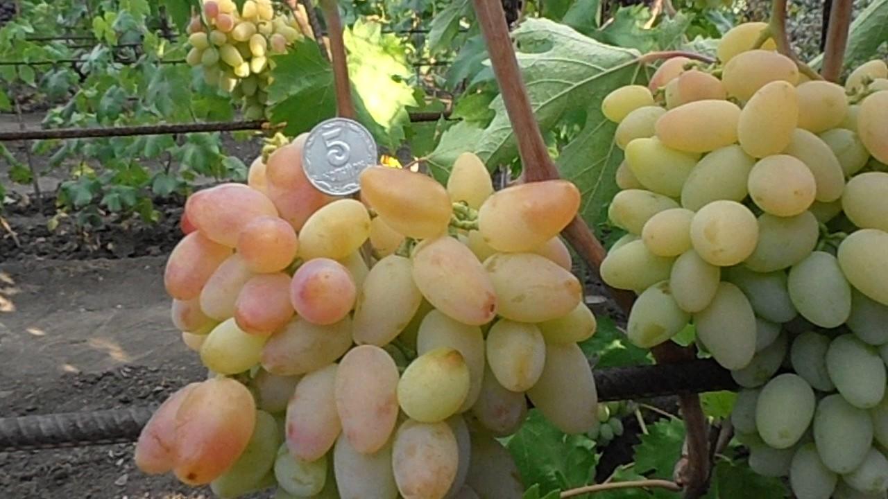 Виноград память негруля описание сорта