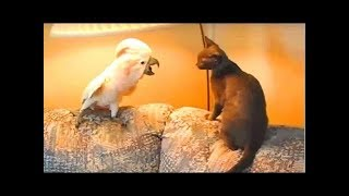 Смешные попугаи мяукают лучше чем кошки. Сборник NEW