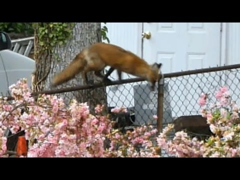 Fox in My Backyard - YouTube