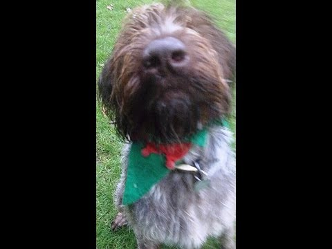 German Wirehaired Pointer Suggs mooching.