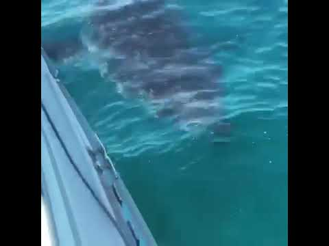 South Australia Port Victoria 5m Great White Shark Circling Fishing Boat!!