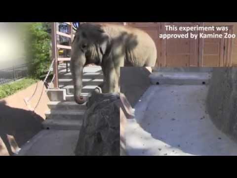 Two Asian elephants blow at fallen leaves