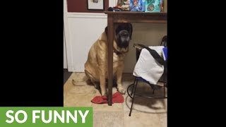 Giant dog thinks he's hiding under table