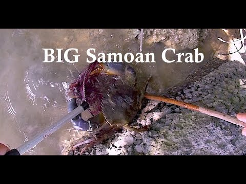 A Short Encounter W/a Samoan Crab!