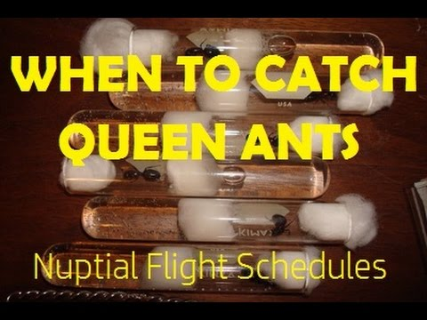 When To Catch Queen Ants: Nuptial Flight Schedules | AntsCanada Tutorial #36