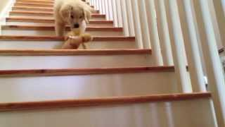 Boomer: The Golden Retriever Puppy